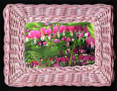 Digital Basket frames rows of a blooming bleeding heart plant.