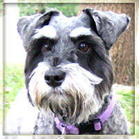 A digitally artified miniature schnauser personifies the word cute.